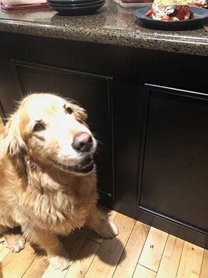 Golden Retriever sitting in the kitchen watching