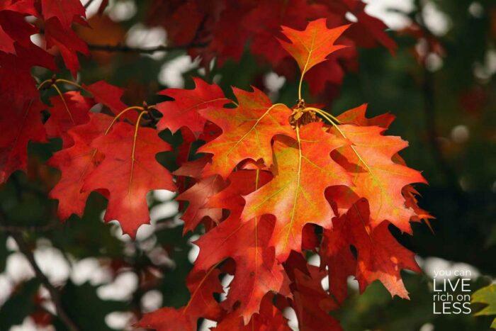 orange oak leaves in fall